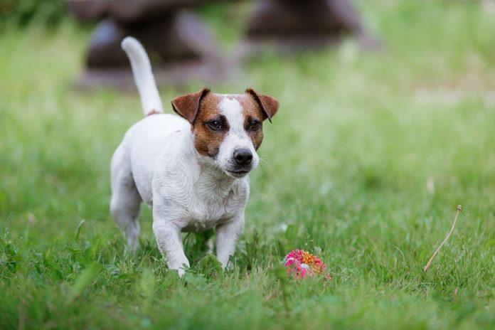Jack russel terrier d couvrez la race de chien - Jack russel queue coupee ...