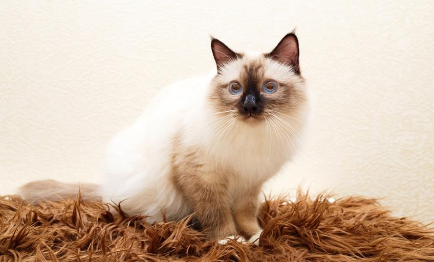Sacre De Birmanie Decouvrez La Race De Chat