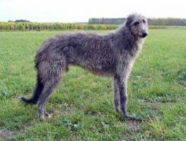 Lévrier écossais - Deerhound