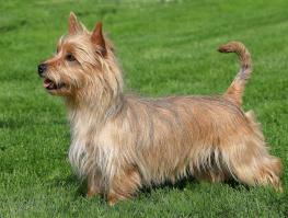 Terrier australien