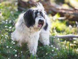 Terrier tibétain