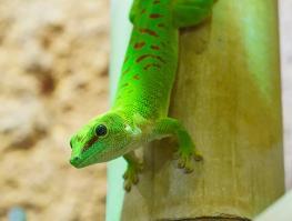 Le gecko vert
