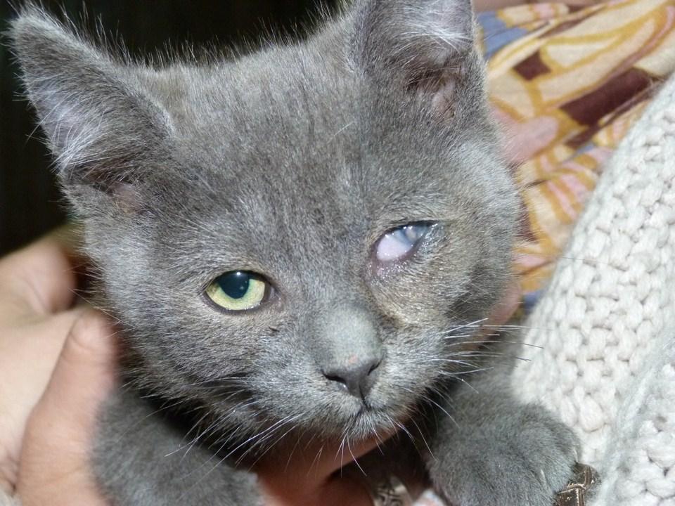 Le Coryza du chat  Maladie contagieuse et infectieuse