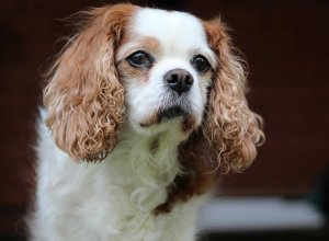 3 raisons d'adopter le Cavalier King Charles