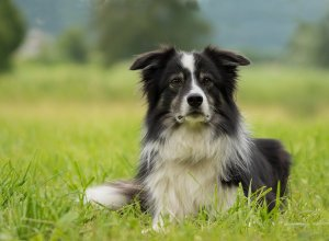 3 raisons d'adopter un Border Collie