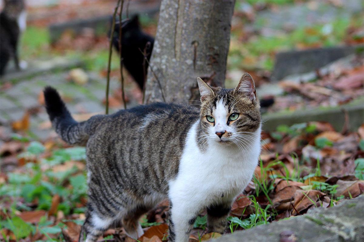 American Wirehair - tout savoir sur la race de chat
